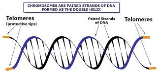 Picture of Telomeres on a Chromosome